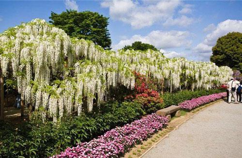 مسیر پیاده روی گلپوش در باغ کاواچی فوجی در ژاپن