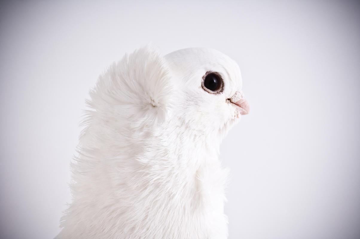 (تصاویر) زیباترین کبوترها از نژادهای مختلف