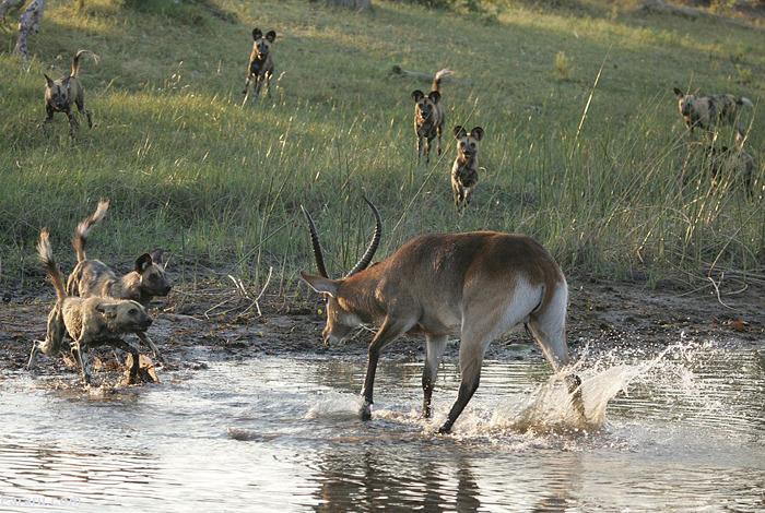 (تصاویر) فرار گوزن از محاصره سگهای وحشی