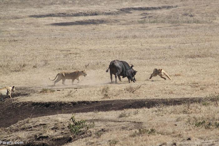 (تصاویر) نبرد بوفالوی شجاع با شیرهای گرسنه