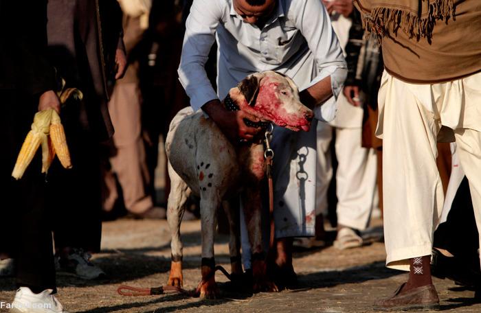(تصاویر) جنگ خونین سگها؛ تفریح مردم کابل