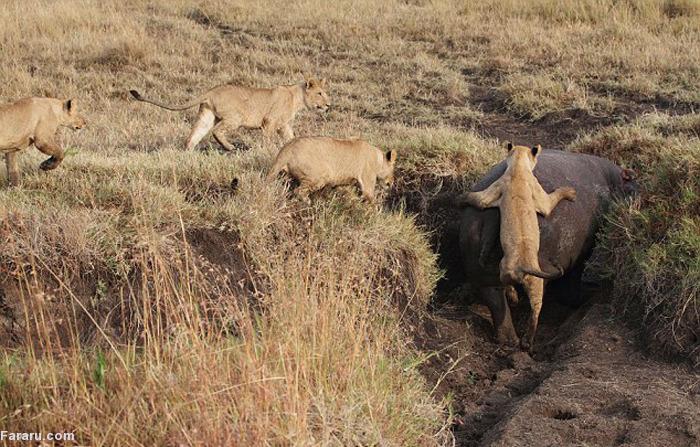 (تصاویر) شیرها از پس اسب آبی برنیامدند