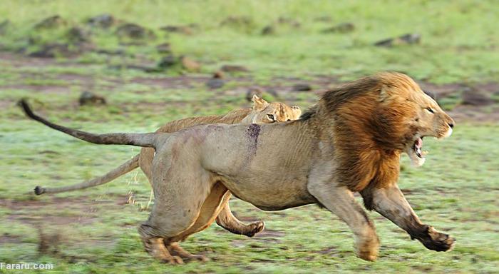 (تصاویر) اتحاد ماده شیرها در برابر شیرنر