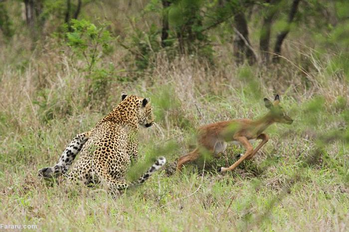 (تصاویر) وقتی بچه آهو سربهسر پلنگ بگذارد