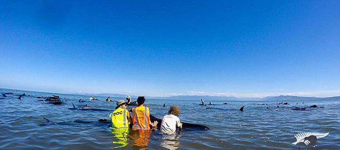 (تصاویر) خودکشی 140نهنگ در نیوزلند