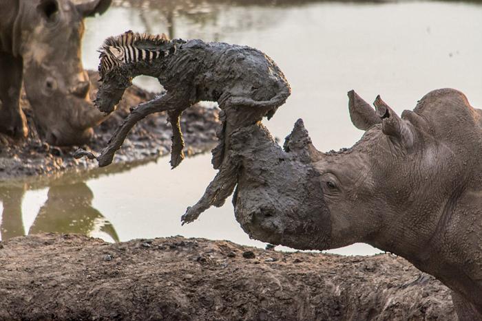 (تصاویر) نجات بیفایده گورهخر توسط کرگدن
