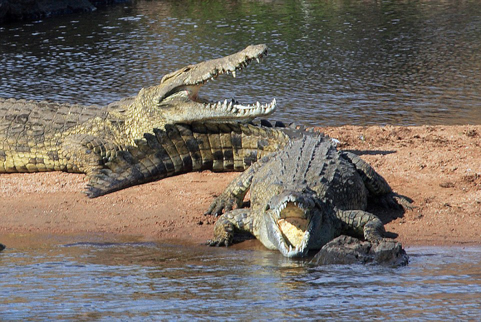 (تصاویر) عبور گورخرها از میان کروکودیلها
