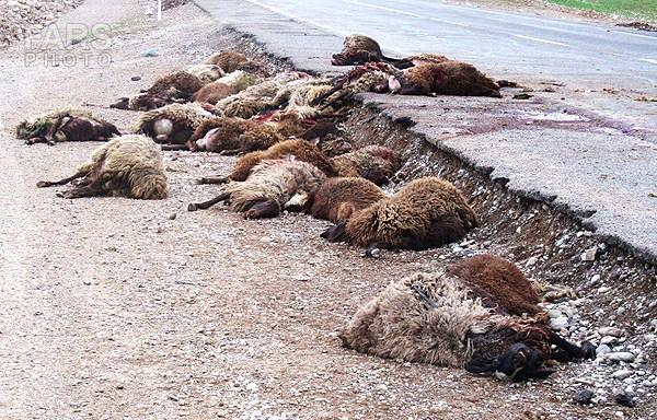 تصادف: گله گوسفندان در سه راهی کوریجان تار مار شد
