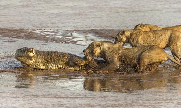 (تصاویر) جنگ شیر و تمساح بر سر لاشه فیل
