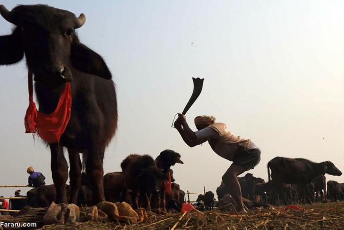کشتارگاه گوسفند کشتارگاه گاو جشنواره کادهیمای