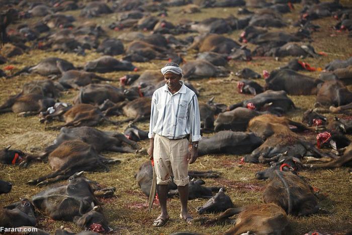 (تصاویر) گردنزدن هزاران گاو در نپال