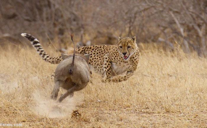 (تصاویر) حمله گراز به یوزپلنگ