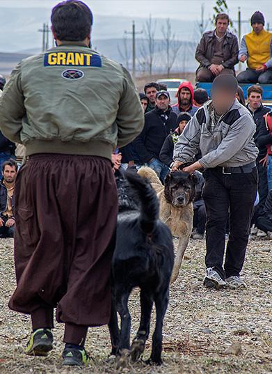 (تصاویر) نبرد خونین سگها در زنجان
