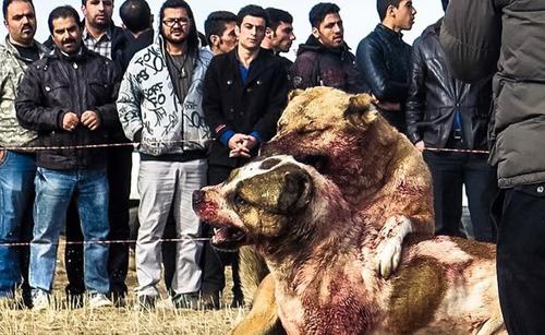 سگ آدمخواری که نگهداری آن در ایران ممنوع نیست