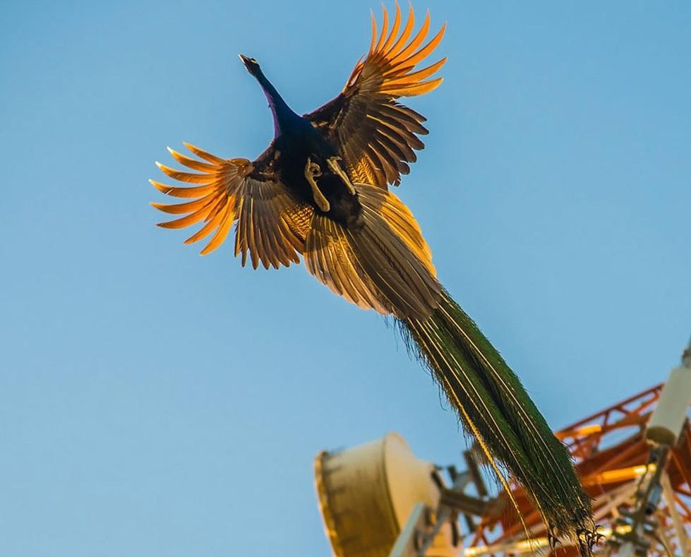 (تصاویر) لحظه پرواز طاووس