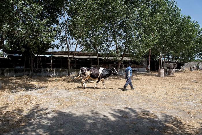 (تصاویر) شیوع آبله گاوی در مازندران