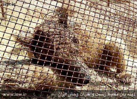 خرس قهوهای به طرز بیرحمانهای کشته شد +(تصاویر)