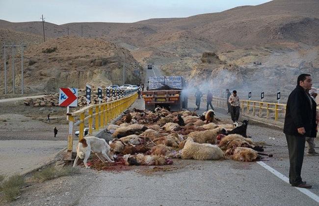 برخورد تریلر با گله گوسفند در بیجار +(تصاویر)