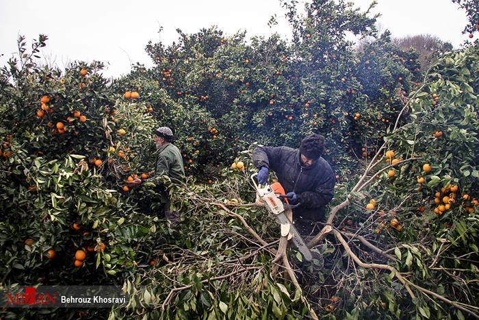 (تصاویر) حمله سرما به پرتقالهای شمال