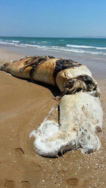 (تصویر) لاشه نهنگ ۱۰ متری در سواحل قشم