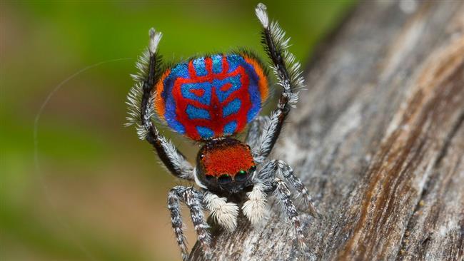 (تصاویر)عنکبوتهای طاووسی که رفتاری مانند سگ و گربه دارند