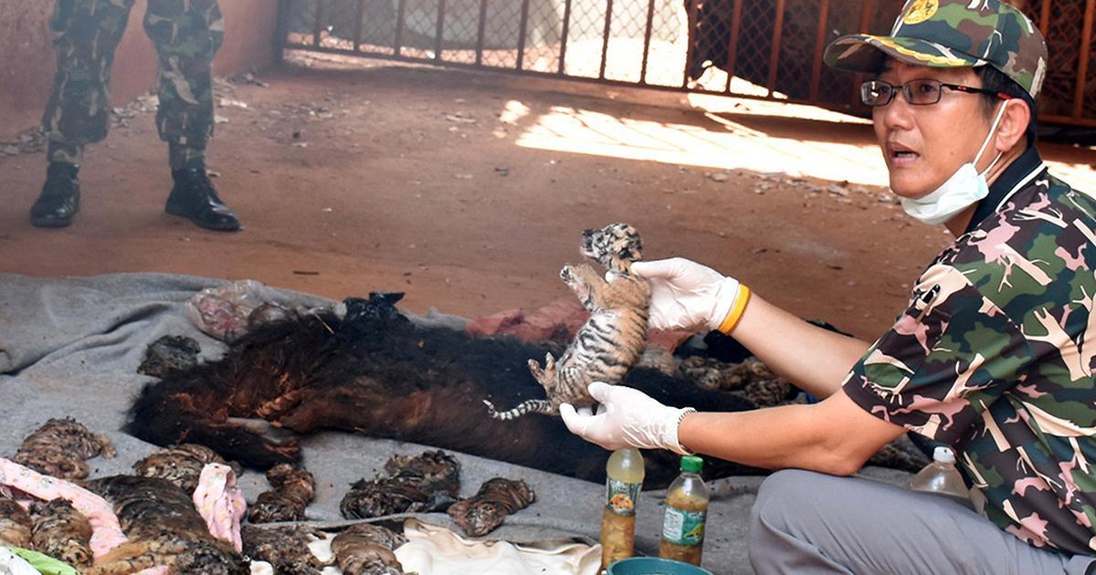 (تصویر) کشف اجساد۴۰ توله ببر در معبدی در تایلند