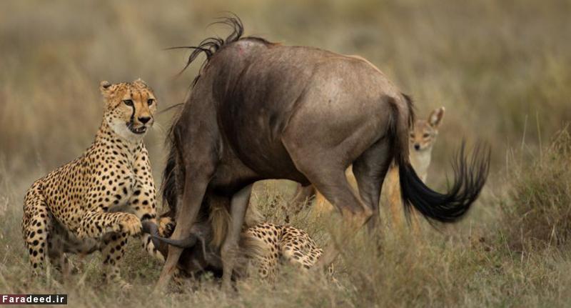 (تصاویر) لقمهای که از گلوی یوزپلنگها پائین نرفت
