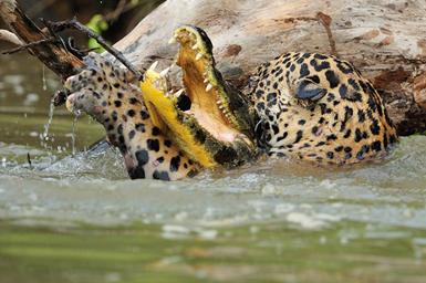 (تصاویر) تمساح شکار پلنگ شد