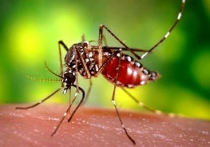 «پشه مالاریا» سرطان را فراری میدهد!