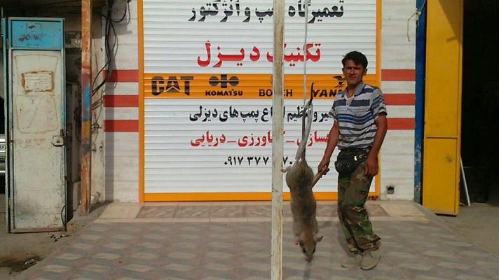 (تصویر)شکار موش 27 کیلویی در بوشهر