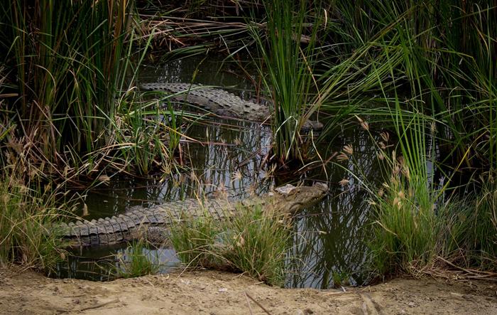 (تصاویر) پرورش گونه نادر تمساح در چابهار