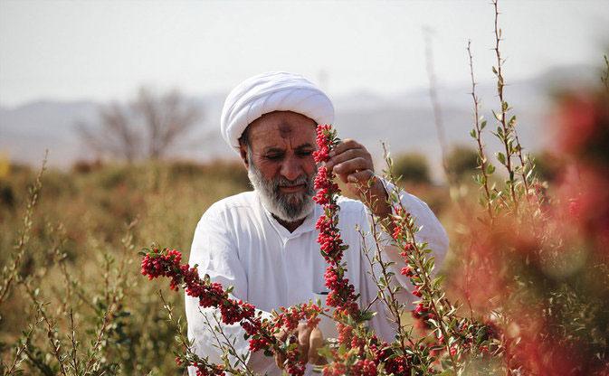 (تصاویر) زندگی یک روحانی در مزرعه زرشک