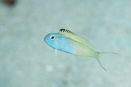 (عکس) نیش این ماهی اثری مثل هروئین دارد