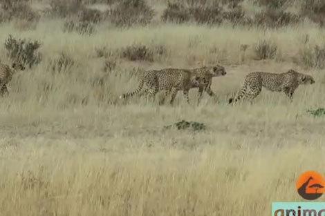 حمله چیتاهای نر به چیتای ماده