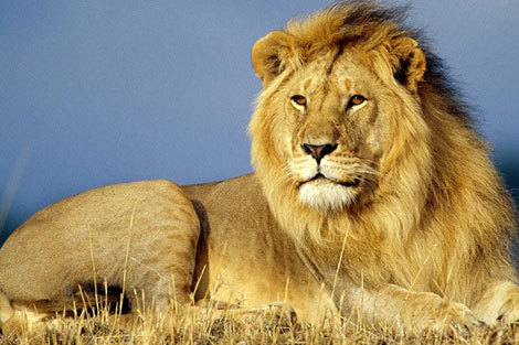 آموزش شکار به شیرهای اسیر