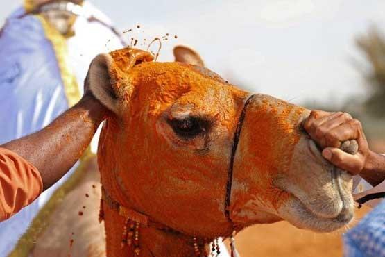 (عکس) زیباترین شتر امارات متحده عربی