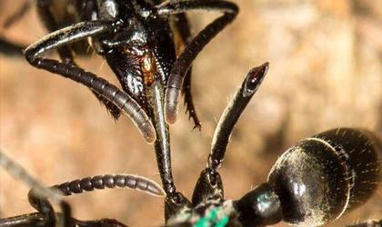 مورچهها زخم را با لیس زدن درمان میکنند