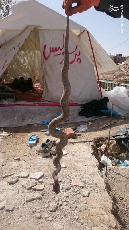 عکس | مارهای سمی؛ دردسر جدید زلزلهزدگان