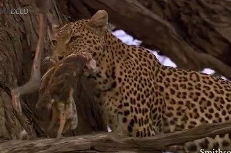 مهارت پلنگ در شکار جغد
