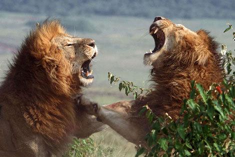 نبرد شیرهای نر برای تصاحب جفت