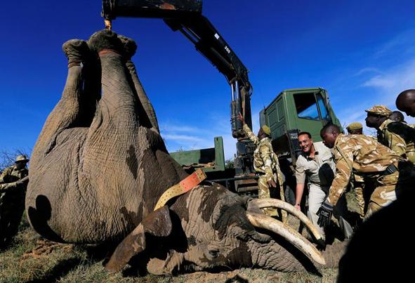 (تصاویر) روش جالب جابهجایی فیلها در آفریقا