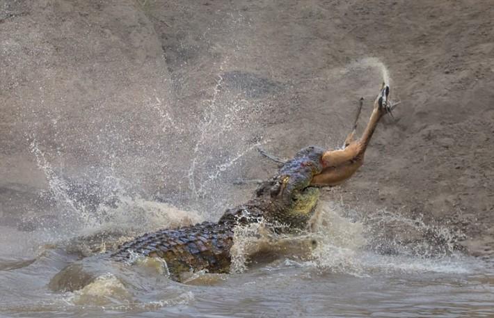 (تصاویر) غزال میان آروارههای کروکویل