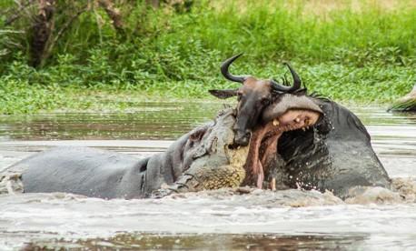 (ویدئو) گاومیش های تشنه در دام تمساح گرسنه