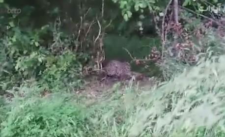 (ویدئو) به دام افتادن پلنگ در تله کشاورزان
