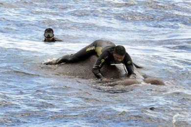 (تصاویر) نجات فیل از وسط دریا!