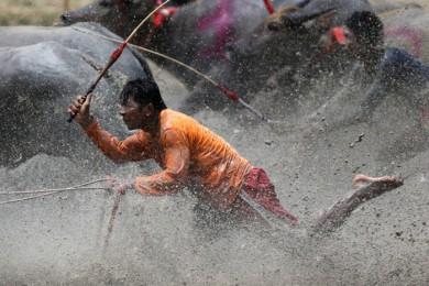 (تصاویر) مسابقات بوفالوسواری در تایلند