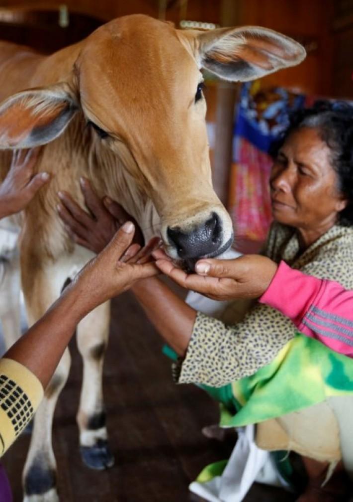 (تصاویر) پیرزنی که مطمئن است روح همسرش در یک گوساله است!