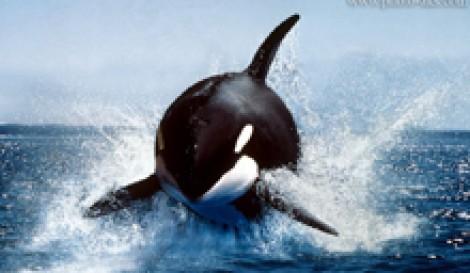 (ویدیو) وقتی نهنگ قاتل از شکار نا امید میشود
