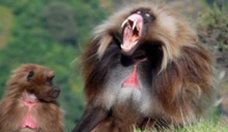 (ویدیو) نبرد در دنیای میمونها