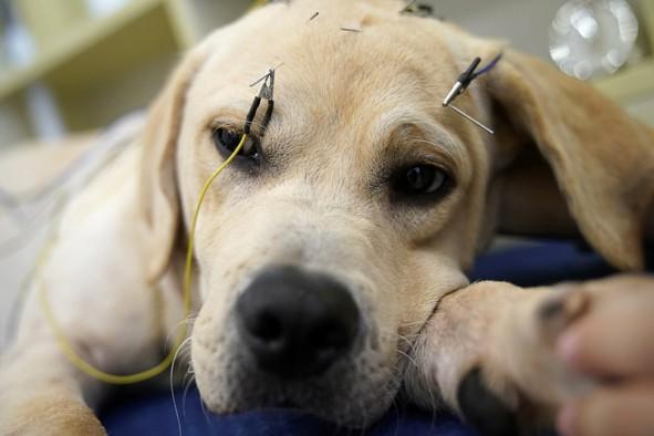 (تصاویر) درمان حیوانات با طب سوزنی